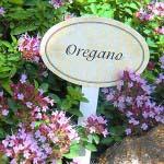 oregano - frische kräuter